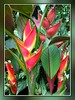 Heliconia stricta 'Carli's Sharonii' at our frontyard, captured October 9, 2007