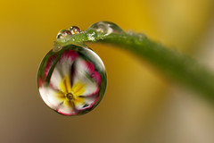 Dewdrop flower refraction (Lord V) Tags: flower macro water dewdrop refraction blueribbonwinner superbmasterpiece diamondclassphotographer betterthangood waterdropsmacros