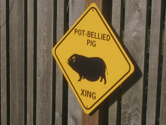 Pot-bellied Pig Crossing