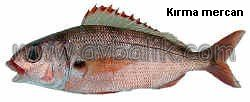2054650757 9386453a88 mercan balığı nasıl avlanır
