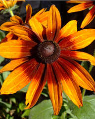 Flowers1 (The how 2 on what 2) Tags: flower blackeyedsusan
