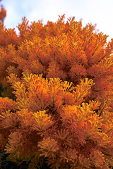 christmas tree (dalinean) Tags: orange flower sigma australia christmastree wa wildflower sd10 westaustralia loranthaceae mywinners mywinner nuytsiafloribunda