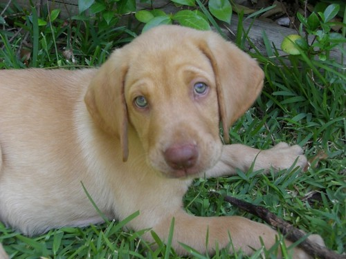 yellow labrador retriever - Bevo