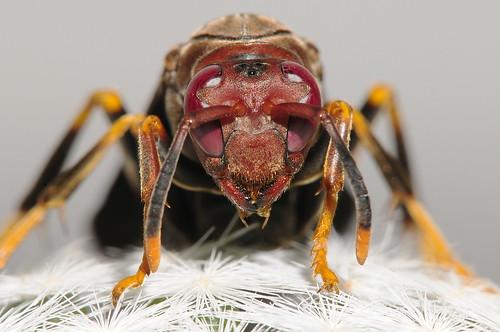 フリー画像| 節足動物| 昆虫| 蜂/ハチ| スズメバチ|       フリー素材|