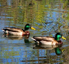 Mallards (Sandra Leidholdt) Tags: wild usa naturaleza male birds america us colorado unitedstates wildlife natureza ducks aves american mallard aquatic lakewood drake waterfowl anas waterbirds oiseaux amricain platyrhynchos divingbirds sandraleidholdt leidholdt sandyleidholdt