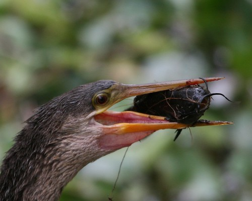 Anhinga with meal