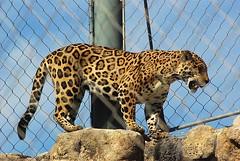 Jaguar - Panthera onca (HGHjim) Tags: zoo feline florida jaguar captive bigcats predators northflorida aza jacksonvillezoo pantheraonca mammels zoophotos nikond80 floridazoo