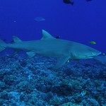 Another lemon shark