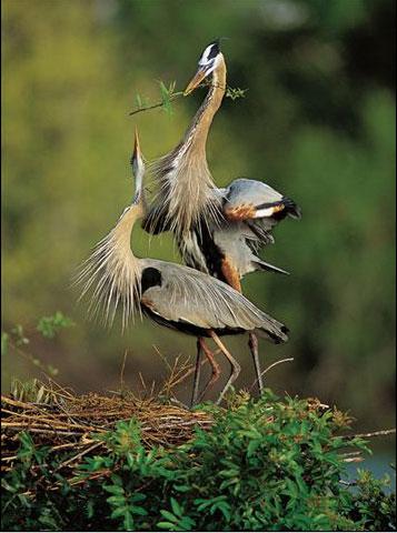 Crane couple.jpg