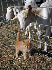 Goats and kitten