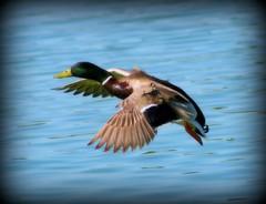 IMG_8158 (2) (Donny Doyle Photography) Tags: birds wildlife mallard sandpiper egrets nightheron