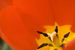 red stamen pistol tulip
