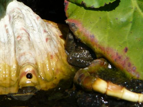 Erdkröte im Gartenteich (01)
