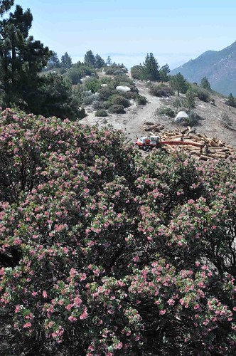 Manzanita and Logging