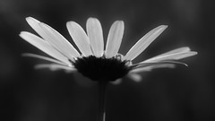 Romance (nyanc) Tags: romance romantic flower blackandwhite bw blackwhite nikon nature macromondays macro monochrome