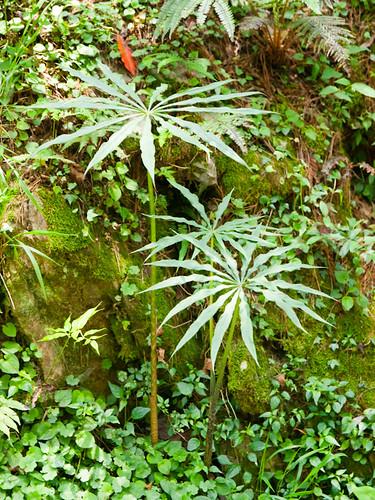 Arisaema consanguineum Schott 長行天南星