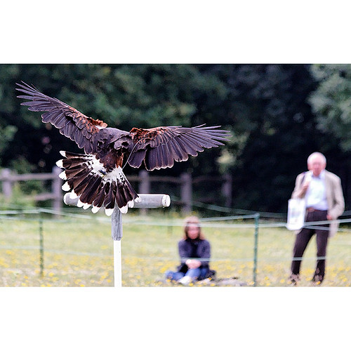 Falconry, Eltham Palace