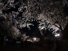 6126さん撮影の夜桜(王子動物園)a