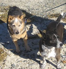 2 Cattle Dogs