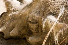 Piggy Piggy (Caleb Keiter) Tags: nature animal animals zoo pig wildlife safari creation sandiegozoo animalpark cuteandfurry 40d howgreatthouart eos40d canon40d sandiegozoowarthog
