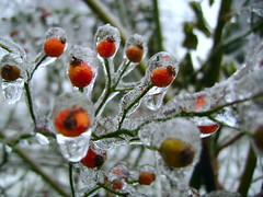 berries encased in ice (Shawn Toohey) Tags: red usa snow storm cold macro green love ice water fruits fruit america wonderful ma landscapes frozen photo drops cool bush berry focus frost shoot branch berries shot very massachusetts branches awesome freezing encased pic scene drop clear just freeze droplet icing springfield iced mass bushes brambles scenics bramble froze spfld