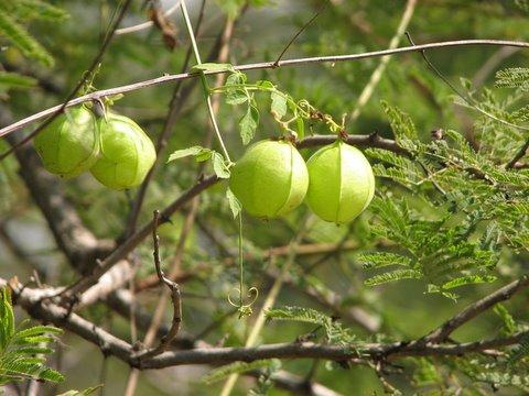 un id balloon-like fruit galibore 161207