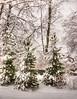 winter goodness (Adam FLiK) Tags: trees winter white snow cold green pine landscape nikon tamron f28 d1x naturesfinest 2875mm anawesomeshot diamondclassphotographer
