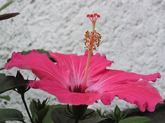 hibiscus (baltic_86 (mostly off)) Tags: pink flower hibiscus kwiat instantfave youmakemehappy rozowy flickersbest thebestofday baltic86