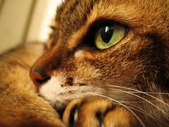 cat allergy