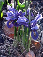 miniature iris in spring