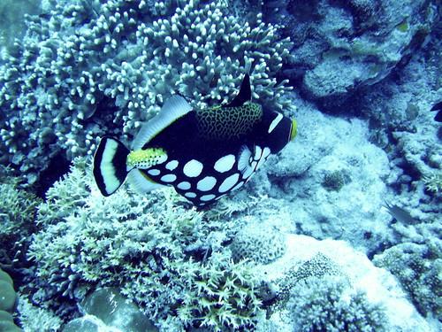 Trigger Fish Palau