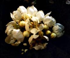 i fiori del pero (Elanorya) Tags: nature ombre cellulare fiori terra 2008 albero bianco luce aria pero scuro contrasto orto naturesfinest giornata irresistiblebeauty diamondclassphotographer