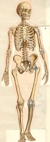anatom37 2