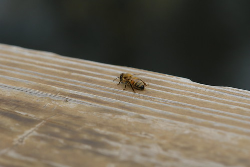 lethargic bee