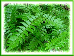 Luxuriant foliage of Adiantum trapeziforme (Diamond/Giant Maidenhair)