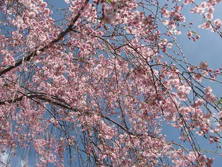042408 Pink Tree 01