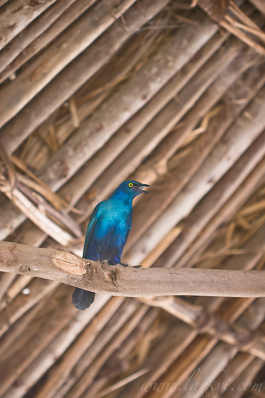 Starling, Southern Ethiopia, November 2007