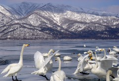 Just white - Hokkaido swan   (unlimited inspirations) Tags: travel winter party white lake snow bird love tourism ice nature beautiful beauty weather animals japan closeup landscape fun fly swan scenery hokkaido flickr seasons creative dream feather fantasy freeze   wonderland pure         lakekussharo  unlimitedinspirations aboveandbeyondlevel4 aboveandbeyondlevel1 aboveandbeyondlevel2 aboveandbeyondlevel3