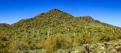 Saguaro Hillside (http://fineartamerica.com/profiles/robert-bales.ht) Tags: arizona desert haybales landscape people phoenix photo places states vegetation saguaro mountain cacti boulder rocky wilderness scenic hillside usa trail sky flower stones steep choked cactus spring arid beautiful camping scenery environment country southwestern cholla sonoran southwest western tranquil mountainous carnegieagigantea treesizedcactus unitedstates california mexico spear arms spines colorful sonora green robertbales cavecreek