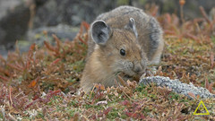 Pika Fall Harvest Beartooth (jerefolgert) Tags: american pika ochotona princeps talus mountains summer food collection cute fur feet fall harvest hay mouth pile eating