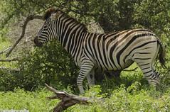 Zebra (artabracelta) Tags: zebra cebra animal africa sudafrica southafrica summer verano safari satara viaje travel naturaleza nature portrait retrato nikon d5100 tamron teleobjetivo 70300 kruger