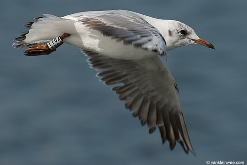 Black-headed Gull, 2cy, W[TT02]