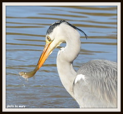 Lunch is served (maryimackins) Tags: park uk fish heron kent wildlife mary wells tunbridge dunorlan mackins
