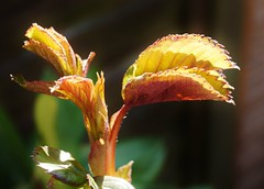 Promise of roses. (dlanor smada) Tags: roses leaves backlit contrejour