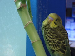 Budgie - (Picture 2075) (cindyc89) Tags: green bird budgie