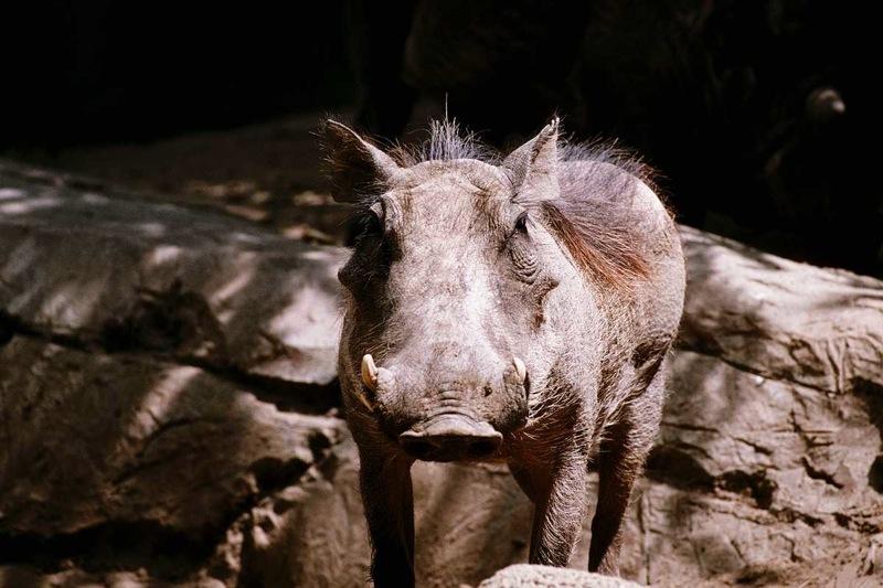warthog-rock.jpg
