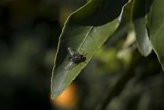 mosca antes