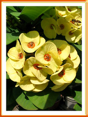 A sunny yellow hybrid of Euphorbia milii with orange centre