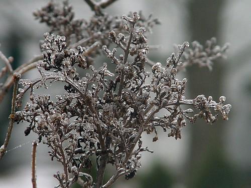 frozen lilac1