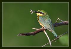 Identity crisis! (hvhe1) Tags: africa bird nature animal southafrica bravo wildlife krugernationalpark beeeater themoulinrouge interestingness98 specanimal hvhe1 hennievanheerden avianexcellence
